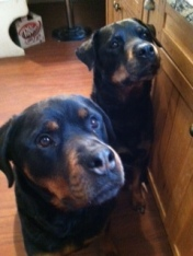 Our Rotties, the Best Home Security System of All (image copyrighted by Colleen Collins)